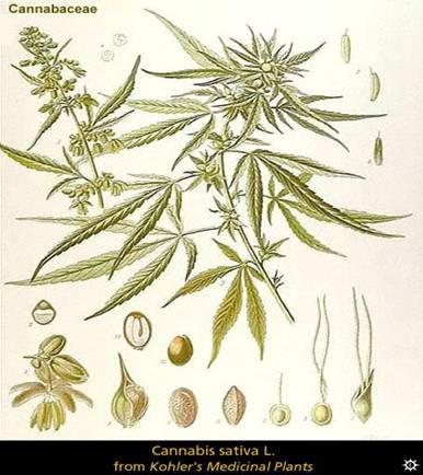 M le ou femelle for Graine de cannabis femelle interieur